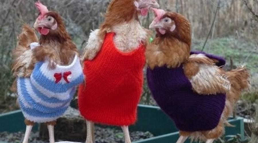 pulls-pour-les-poules
